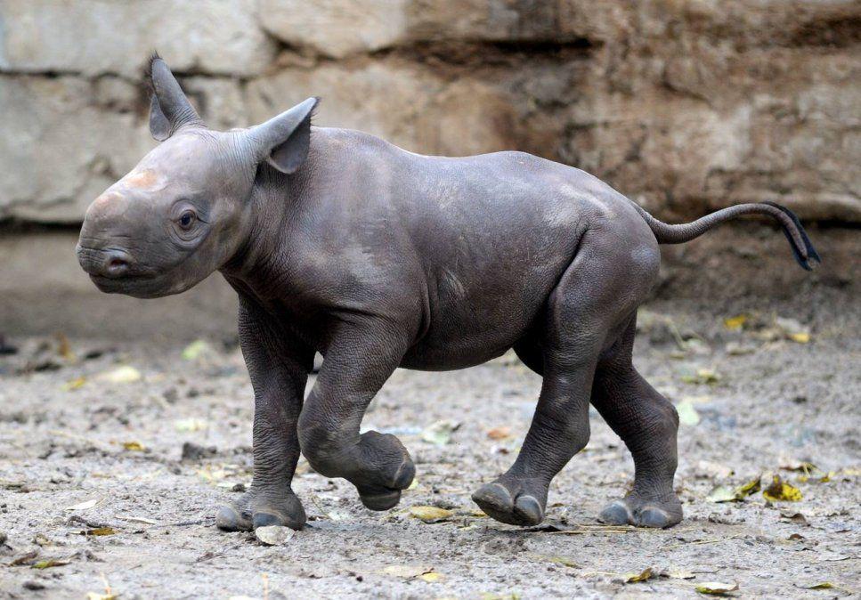 El video del pequeño rinoceronte que explotó las redes