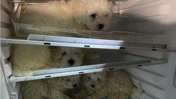 Inaceptable actitud de 4 comerciantes ilegales que pusieron a estos cachorros en la heladera