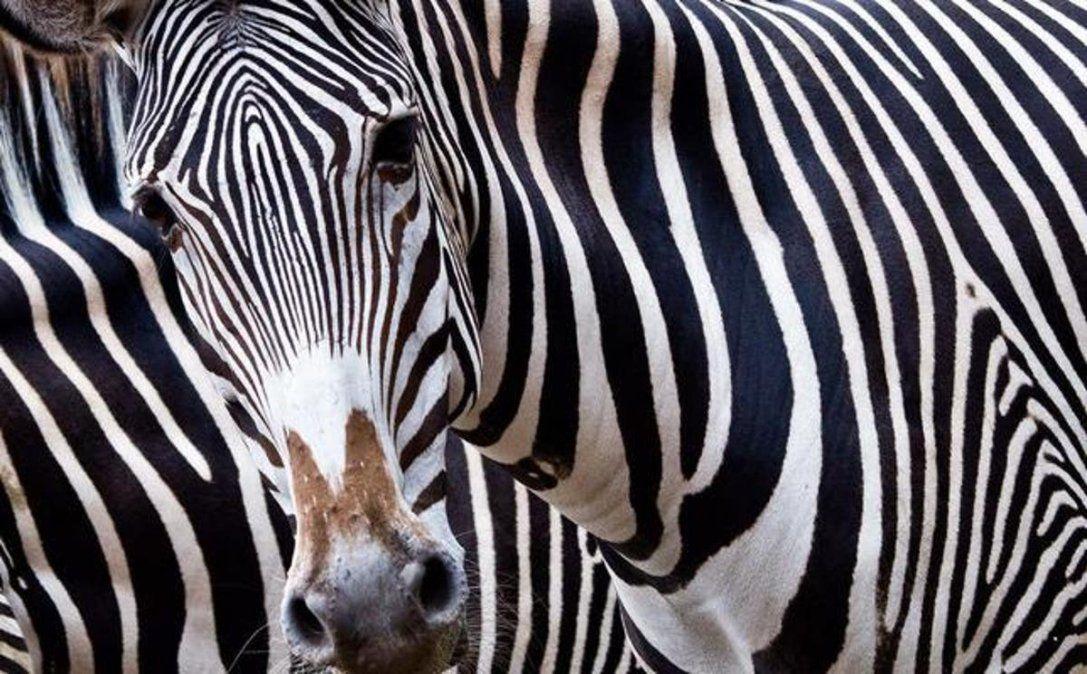 Las cebras son animales que parecen idénticos entre sí.