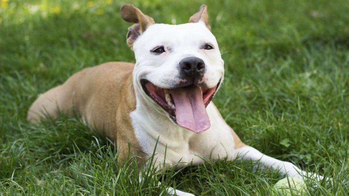Una mujer adoptó un perro pitbull ciego que estaba abandonado en la calle
